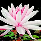 Beautiful Lotus by Richard-Gary Butler