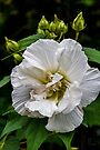 Rose of Sharon #3 (White Chiffon Hibiscus) by Elaine Teague