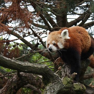 Red Panda by Tabita