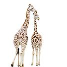 Two giraffes by flashcompact