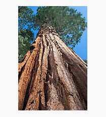 Giant Sequoia Tree Photographic Print