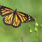 Magnificent Monarch by Heather Pickard