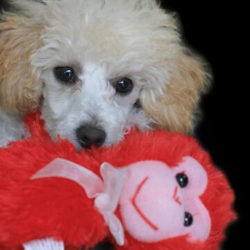 Valentine's toy poodle puppy by ritmoboxers