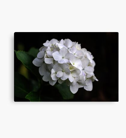 I love a White Hydrangea don't you? Canvas Print