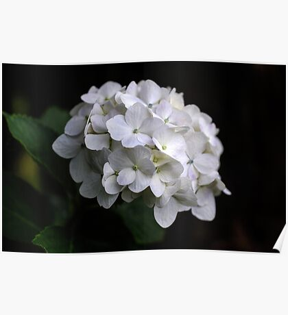 I love a White Hydrangea don't you? Poster