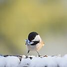 Chickadee in winter by Laurie Minor