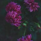 Evening Dahlia by Kim Jackman