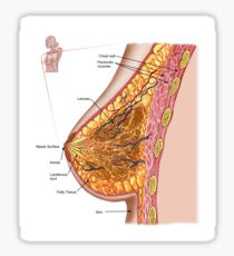Anatomy of the female breast. Sticker
