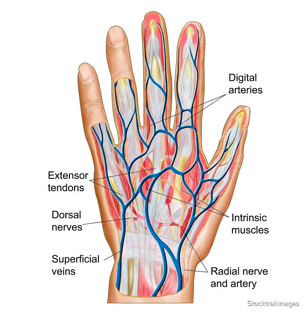 Anatomy Of Back Of Human Hand By Stocktrekimages Redbubble