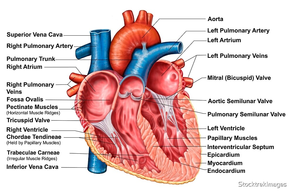 Anatomy Of Heart Interior Frontal Section By Stocktrekimages