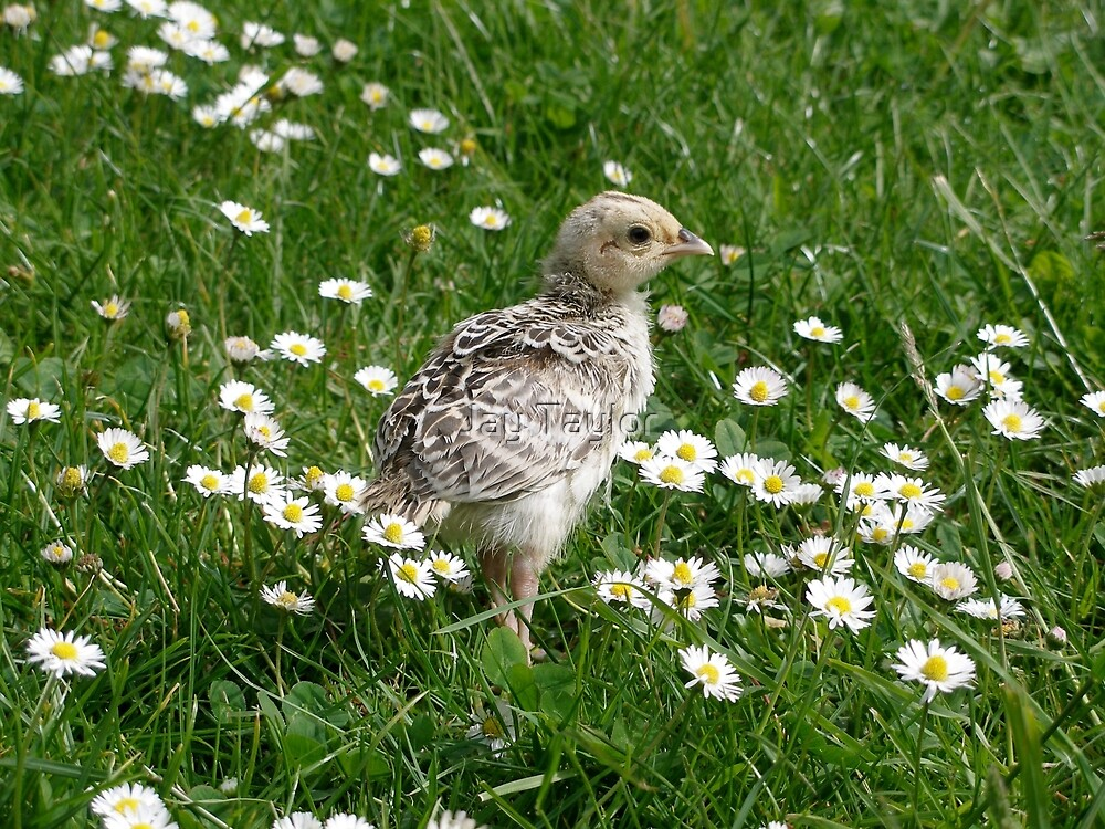 Piep in a sea of Daisies by Jay Taylor