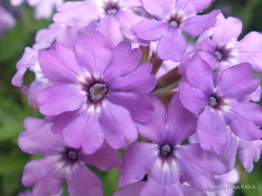 Lilac beauty by Melanie Rose Killick