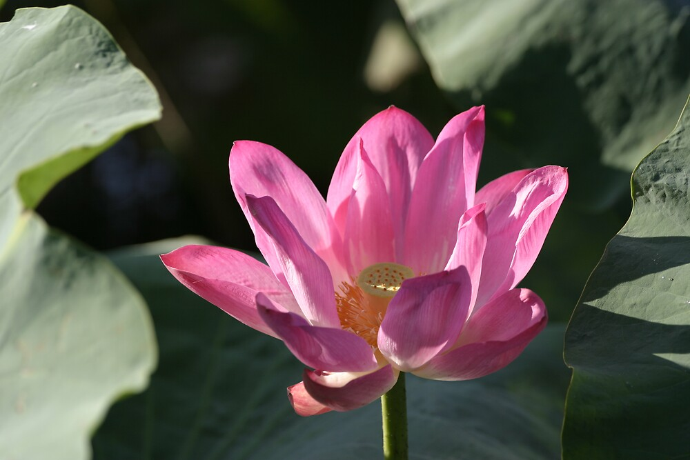 Lotus by Mark Williamson
