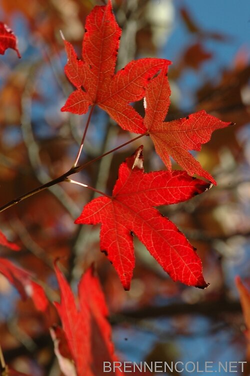 red maple leaves fall by Brennen Cole