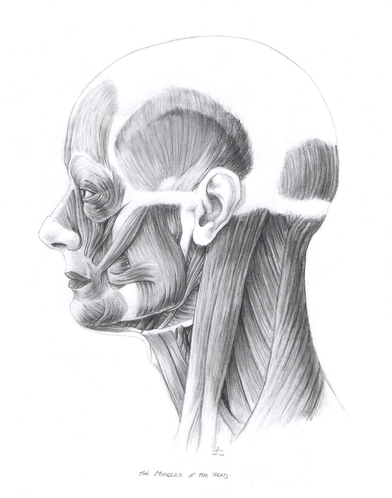 Muscles of the Head (side) by wyvex