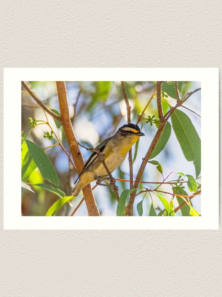 Alternate view of Striated Pardalote Art Print