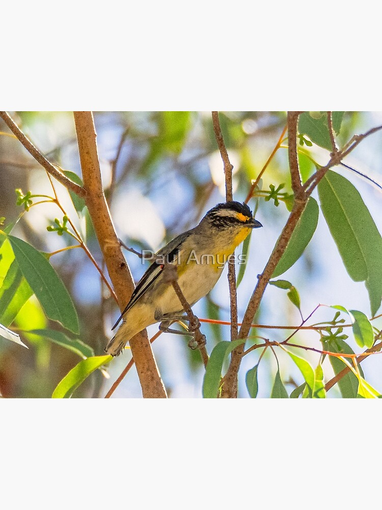 Striated Pardalote by AmyesPhotograph
