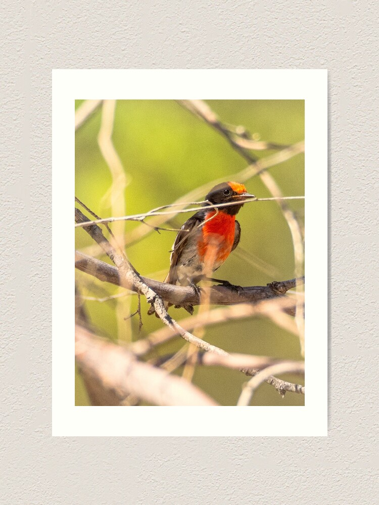 Alternate view of Red-capped Robin Art Print
