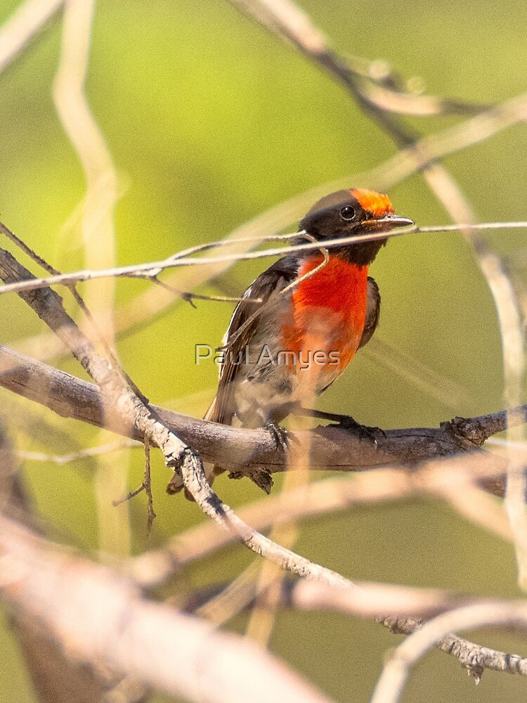 Red-capped Robin by AmyesPhotograph