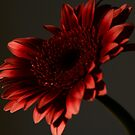 Red Gerbera by Nicole W.