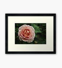 Delicate Pink Rose Framed Print