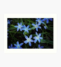 Scilla Flowers In The Morning Art Print