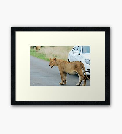 AND THEN ALL WINDOWS WERE CLOSED - THE LION – Panthera leo Framed Print