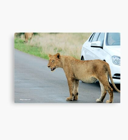 AND THEN ALL WINDOWS WERE CLOSED - THE LION – Panthera leo Canvas Print