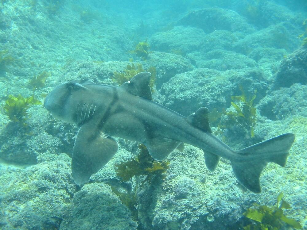 Port Jackson Shark by Wormfish