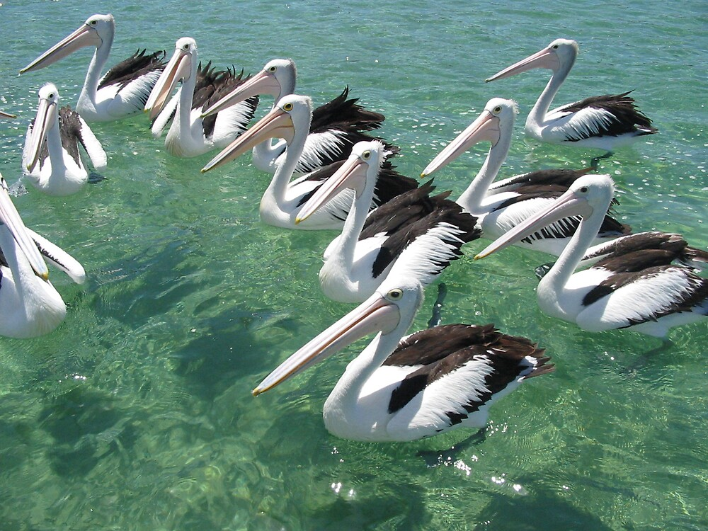 Pelicans by Wormfish