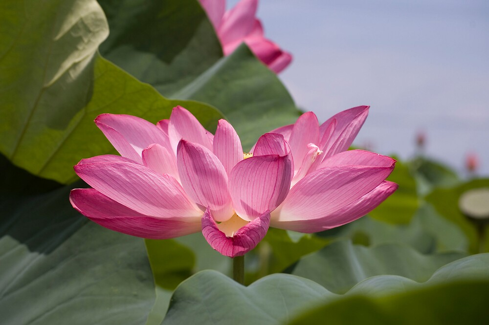 Lotus Flower by fab2can