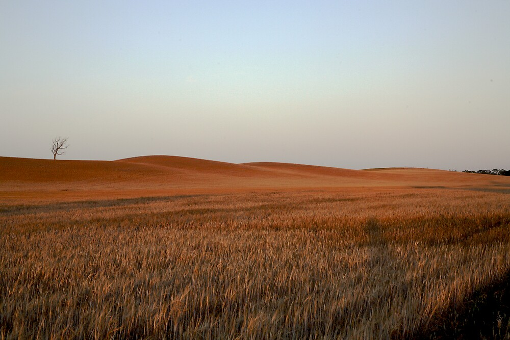 wheat drought by Mark Williamson