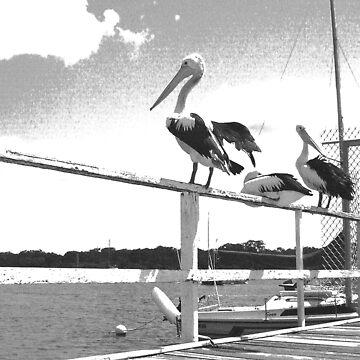 Pelicans Noosa by AmandaCole