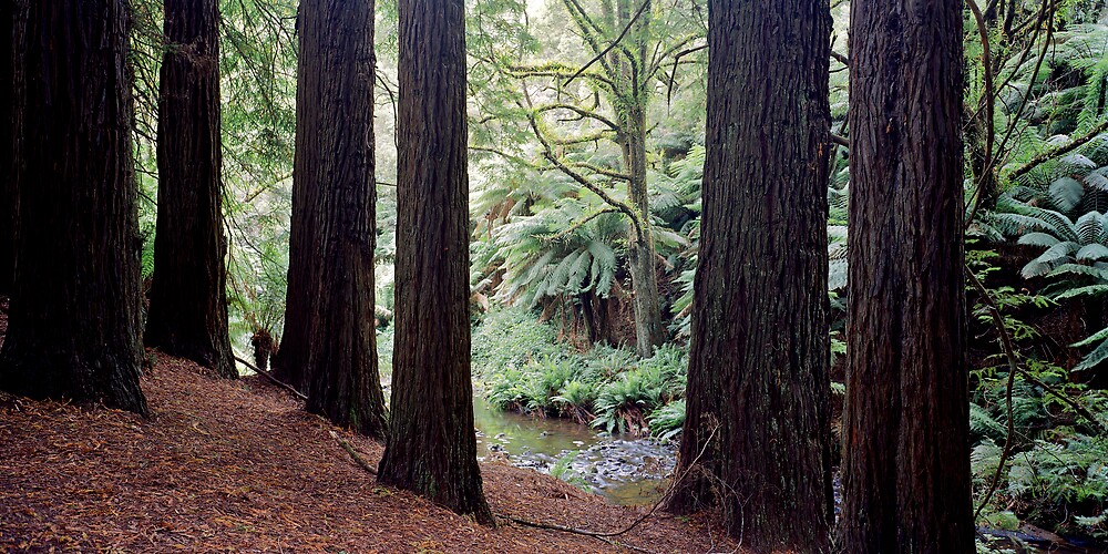 Redwood forrest, Otways by mgimagery