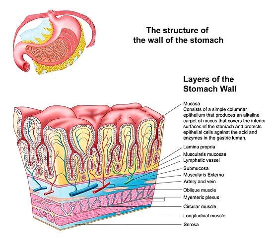 Pósters «Anatomía de la estructura y capas de la pared del estómago ...
