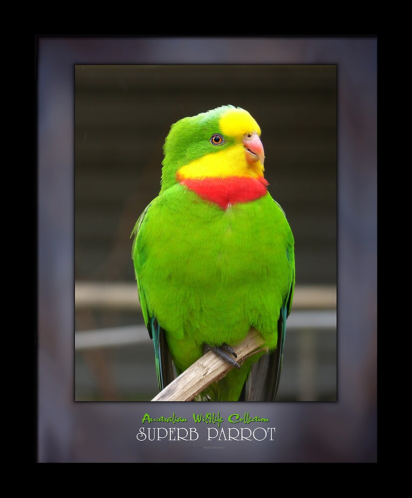 Superb Parrot by Shane Smith
