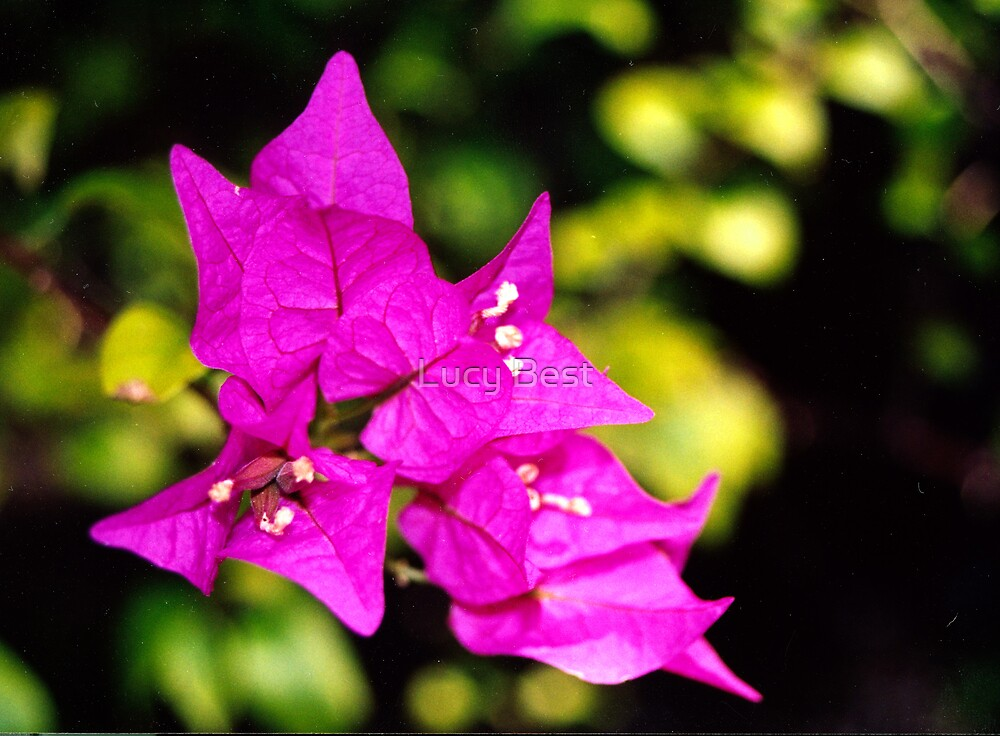 Bougainvillea by Lucy Best