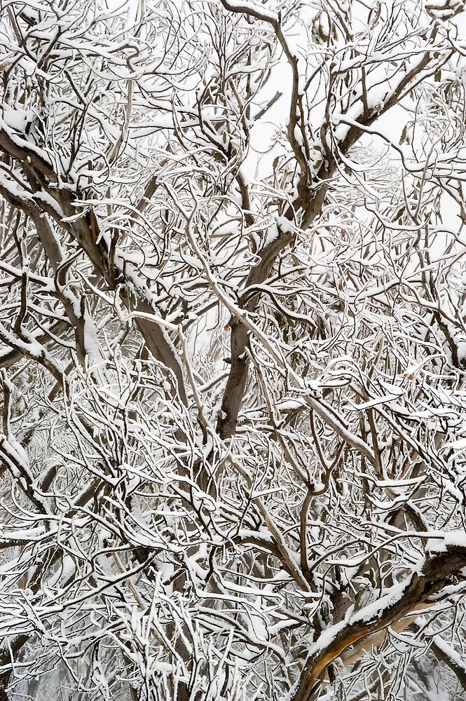 Spindly Snow Gums under fresh snow by John Barratt