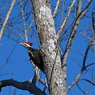 Pileated Woodpecker by TJ Baccari Photography