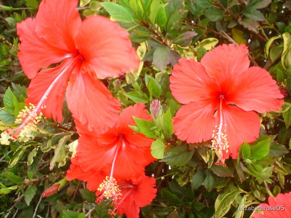 hibiscuses by elizabethrose05