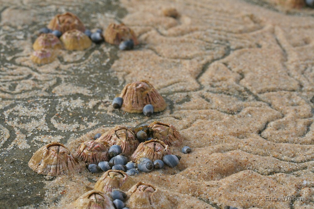 sand barnacles by Erica Williams