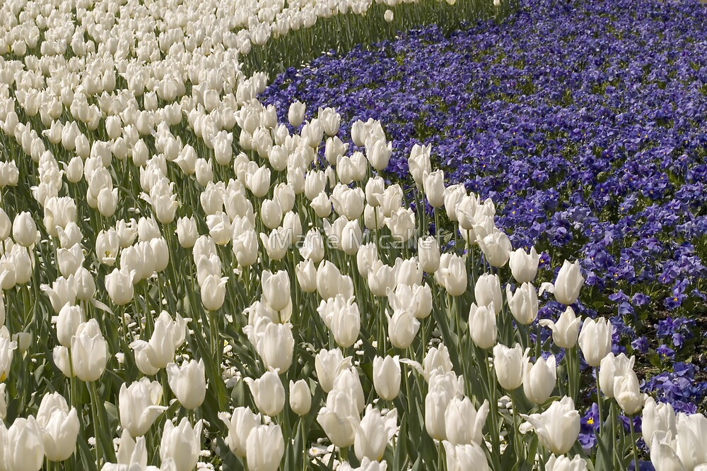 White And Purple Tulips by Shutterbug