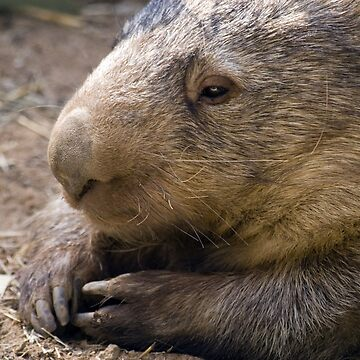 Common Wombat by Shutterbug