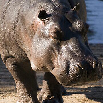Hippopotamus by Shutterbug