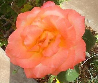 orange rose by elizabethrose05