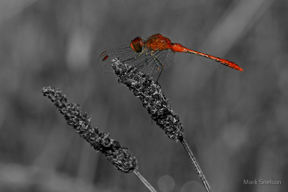 Red Dragonfly 3 by Mark Snelson