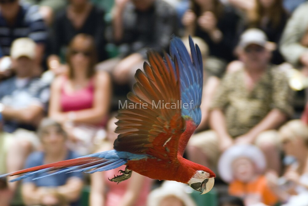 Green Winged Macaw in Flight by Shutterbug