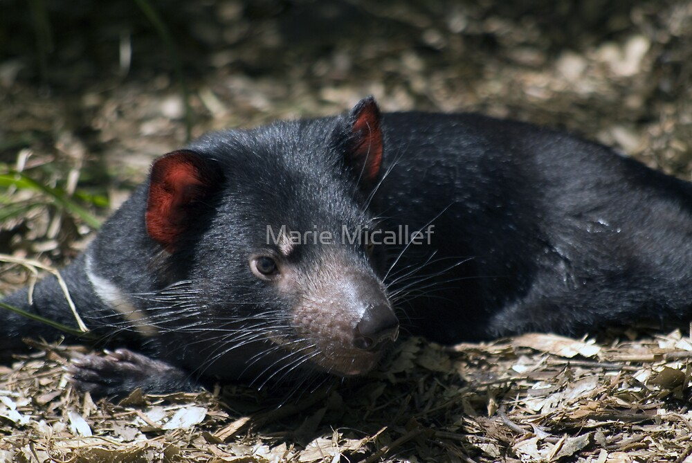 Tasmanian Devil by Shutterbug