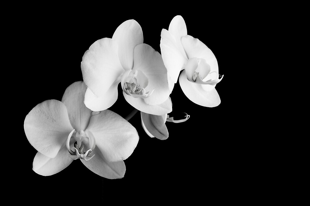Orchids by Timothy Oon