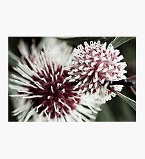 Hakea Flowers Photographic Print